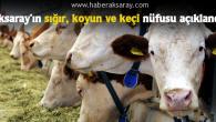 Aksaray'da 234 bin 638 büyükbaş hayvan bulunuyor