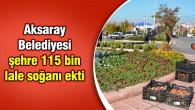 Aksaray Belediyesi, şehre 115 bin lale soğanı ekti
