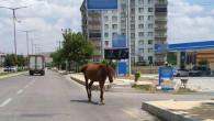 Aksaray'da çözülemeyen başıboş atlar sorunu!