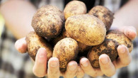 Aksaray patates üretiminde 8'inci sırada