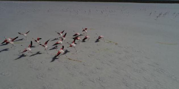 Tuz Gölü 21 bin flamingoya ev sahipliği yapıyor