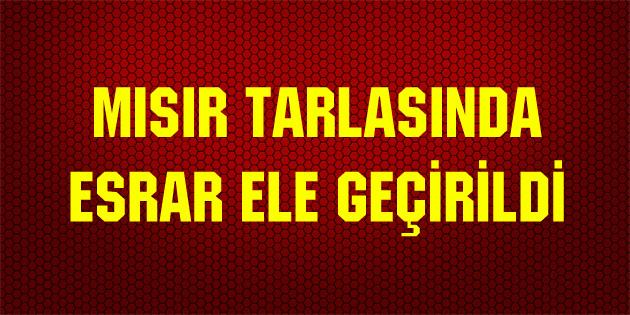 misir-tarlasinda-esrar-aksaray