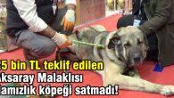 25 bin TL teklif edilen Aksaray Malaklısı damızlık köpeği satmadı!