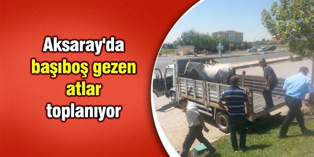 Aksaray'da başıboş gezen atlar toplanıyor