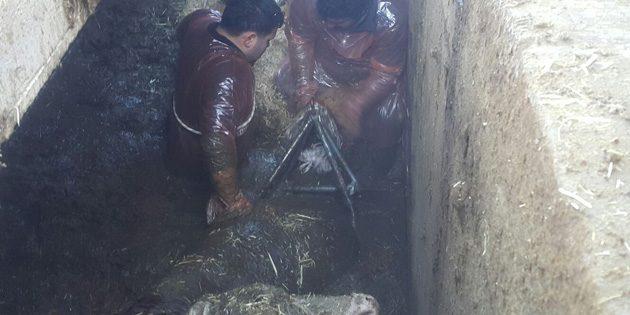 AFAD'dan büyükbaş hayvan kurtarma operasyonu