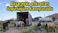 Aksaray'da yılkı atları özgürlüğüne kavuşturuldu