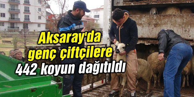 Aksaray'da genç çiftçilere 442 koyun dağıtıldı