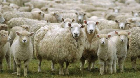 Aksaray'da küçükbaş hayvan sayısında 12 yılda yüzde 500 artış sağlandı