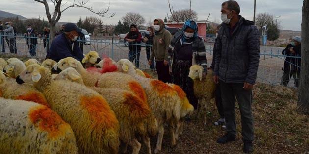 Kazada koyunları telef olan aileye 33 koyun teslim edildi