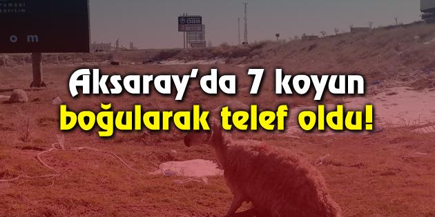 Aksaray'da 7 koyun boğularak telef oldu!