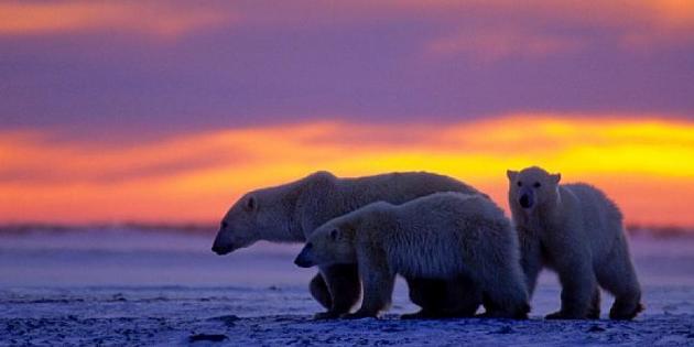 Kutup Ayılarının Dünyası National Geographic WILD Ekranlarında